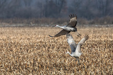 Two Sandhill Cranes Take Fligh...