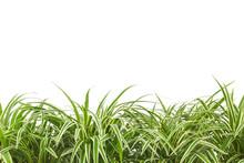 Ornamental Plant,chlorophytum ...