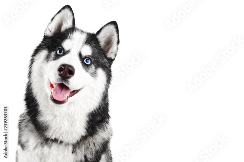 Portrait of a blue eyed beautiful smiling Siberian Husky dog with tongue stickin Canvas Print