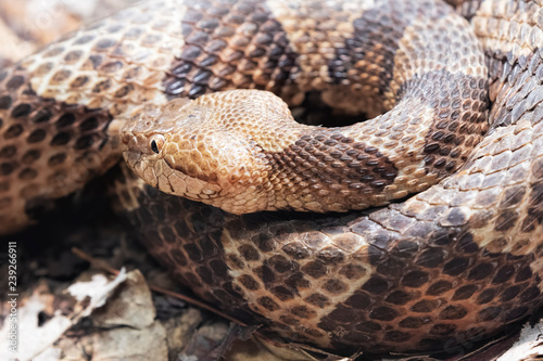 Obraz na plátně Northern Copperhead venomous pit viper found in Eastern North America