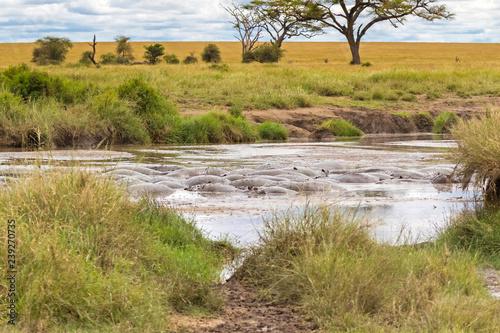 Hippopotamus, hippo submerging in muddy water at Serengeti National Park in Tanzania, Africa.