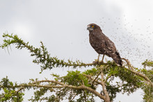 Brown Snake Eagle Bird Of Prey With Many Bugs Flying Around At Serengeti National Park In Tanzania, Africa