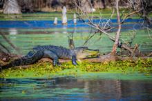A Large American Crocodile In ...