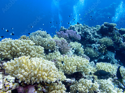 Foto op Aluminium Onder water Colorful coral reef at the bottom of tropical sea, underwater landscape