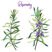 Rosemary Branches With Flowers, Watercolour
