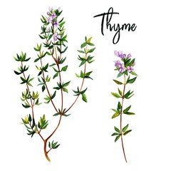 Fototapeta Przyprawy Thyme branches with flowers, watercolour illustration