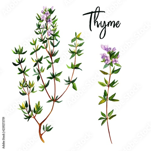 Fotografía  Thyme branches with flowers, watercolour illustration