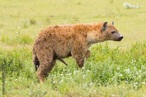 Aluminium Prints Hyena Side of Spotted hyena, Laughing hyena standing on grass at Serengeti National Park in Tanzania, Africa