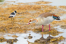 Egyptian Goose With Teal Speculum With Blacksmith Lapwing (Blacksmith Plover) At Serengeti, Tanzania, Africa .