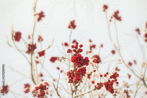 Fotografie, Obraz  Rowan branch with red berries