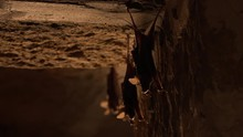 Close Up Of The Back View Of Three Bats Holding On To A Wall