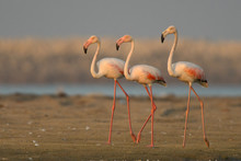 Adult Birds On The Beach. Greater Flamingo (Phoenicopterus Roseus)