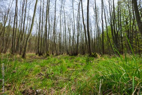 Fototapety, obrazy: Urwald auf dem Darßer Orft an der Ostsee