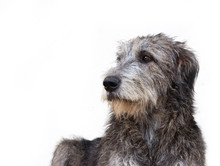 Dog Breed  Irish Wolfhound Portrait On White Background