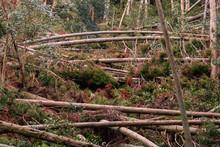Fallen Trees Trunks Arch And Bridge Across Landscape In Forest