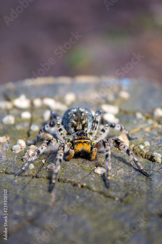 Photo of Lycosa singoriensis, black hair tarantula on the tree stump