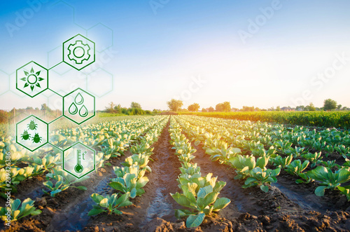 Fototapeta Cabbage in the field. High technologies and innovations in agro-industry. Study quality of soil and crop. Scientific work and development of new methods and selection of varieties Investing in farming obraz