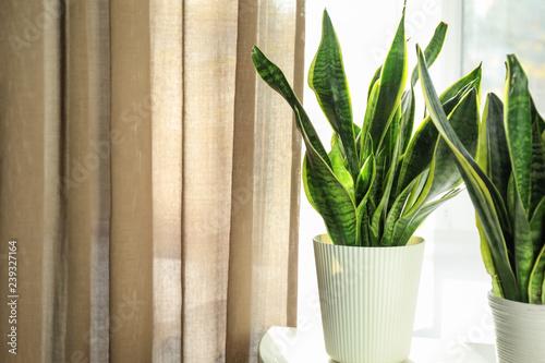 In de dag Planten Decorative sansevieria plants on white table