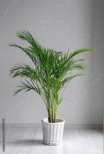 Decorative Areca palm near grey wall Wall mural