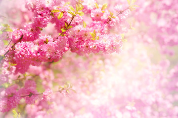 Sakura branch in soft light. Flowers of Japanese cherry in the spring. Blossoming sakura branches in pink delicate tones.