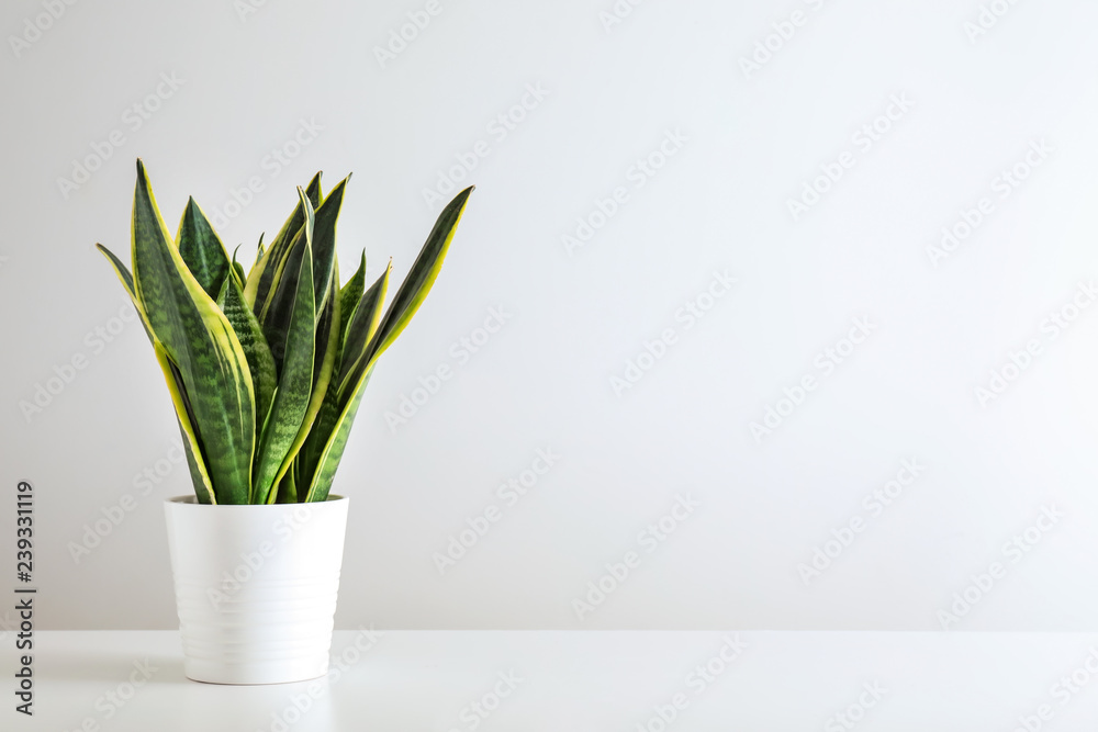 Fototapety, obrazy: Sansevieria plant in pot on white table