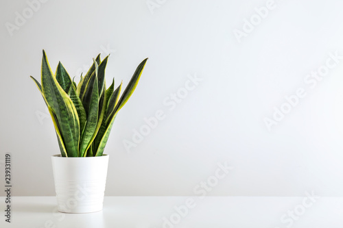 Sansevieria plant in pot on white table