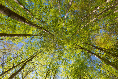 Green beech trees top in forest #239333359