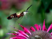 Hummingbird Moth Hover