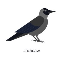 Jackdaw Isolated On White Back...