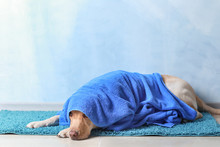 Cute Dog With Towel After Washing Lying On Floor