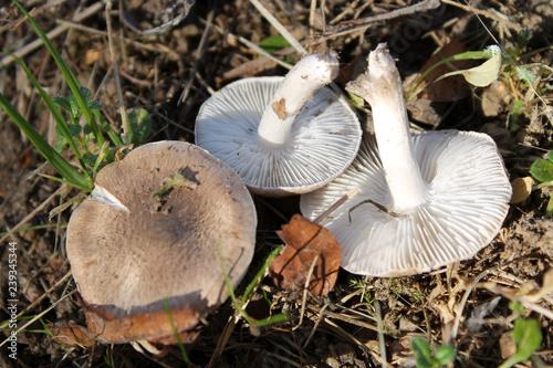 Grey knight fungus or dirty tricholoma (Tricholoma terreum). October, Belarus