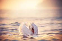 White Swans In The Sea,sunrise...