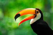 Portrait Of Toucan Toco With Open Beak