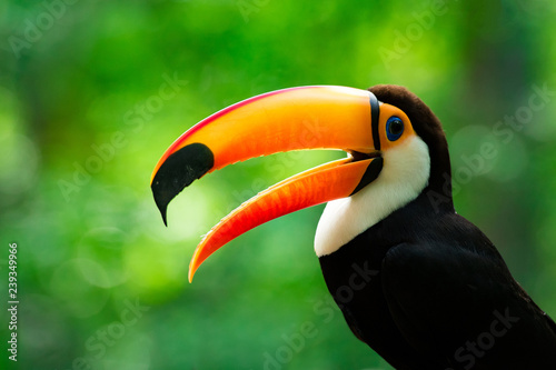 Tuinposter Toekan Portrait of Toucan Toco With Open Beak