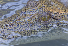 Wild Saltwater Crocodile (Crocodylus Porosus) Head Detail In Porous Creek On The Hunter River, Mitchell River National Park, Kimberley, Western Australia, Australia, Pacific
