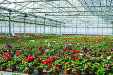 Gloxinia Flowering Colorful Houseplants Cultivated As Decorative Or Ornamental Flower, Growing In Greenhouse