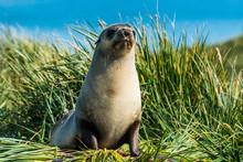 Young Antarctic Fur Seal (Arctocephalus Gazella), Prion Island, South Georgia, Antarctica, Polar Regions