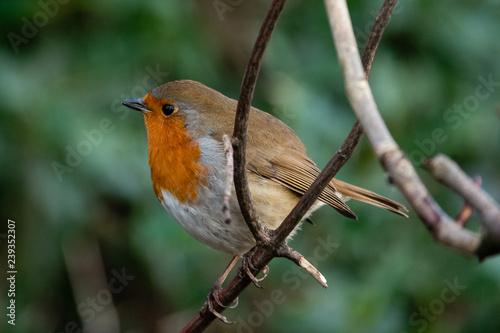 Fototapety, obrazy: red robin