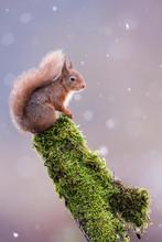 Red Squirrel (Sciurus Vulgaris) Sitting In Falling Snow, Yorkshire Dales, United Kingdom, Europe