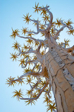 A Quiver Tree Gets Its Name Fr...