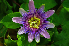 Purple And White Flower Of The...