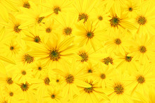 Background From Garden Yellow Buds Of Flowers Arktotis. Wallpaper. Close-up.