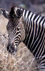 Fototapeta na wymiar Plains Zebra, (Equus burchellii), Kruger National Park, Mpumalanga, South Africa, Africa