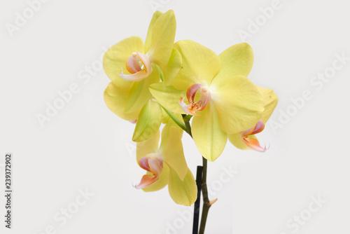 Fotografía  Yellow orchid phalaenopsis blossom close up