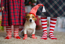 Dog Jack Russell Terrier And Legs Woman And  Little Girl In Red White Striped Socks Celebrating Christmas At Home By The New Year Tree