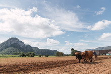 Man Cultivating Land With Plough And Oxen In Farm