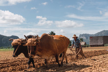 Man Plough Land With Oxen In Farm