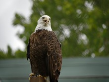 Wide Shot Of A Bald Eagle Perched On A Post, With Bokeh In The Background