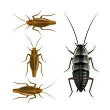 Oriental And German Cockroaches