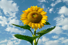 A Giant Yellow Sunflower And L...